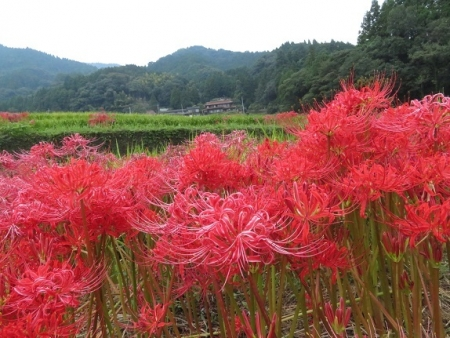 江里田の彼岸花と滝 2019-09-26 021