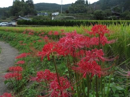 彼岸花祭り 2019-09-20 011
