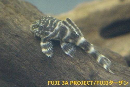 タイガープレコ