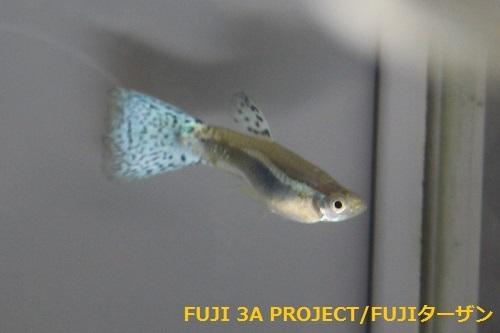 Jグッピー ブルーグラス (2)