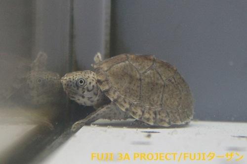 カブトニオイガメUSACB