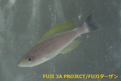 キプリクロミスレプトソーマゴールドフィン