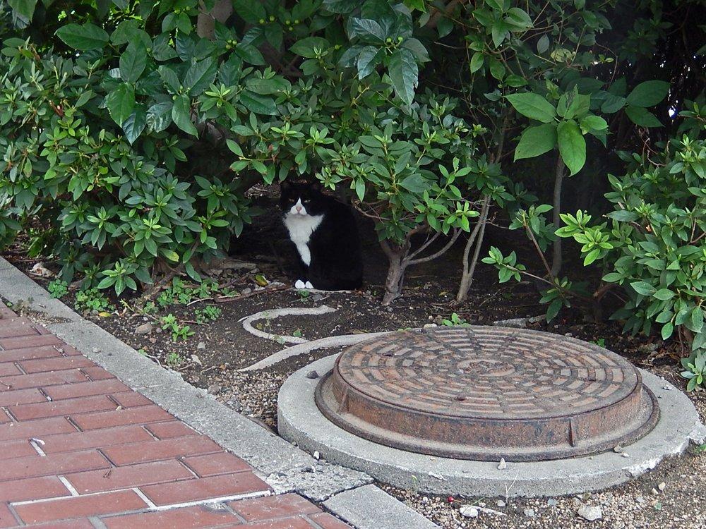 木陰のハチワレ猫