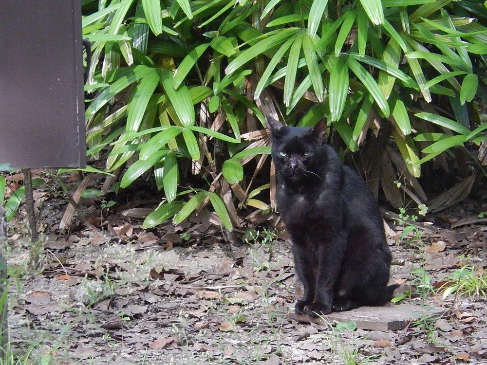 逞しい黒猫