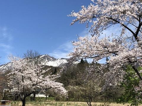 駒ケ岳桜2