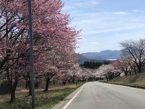 田沢湖高原桜