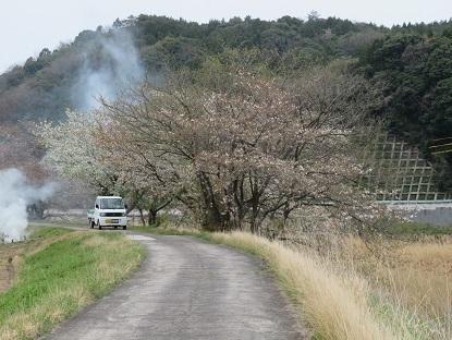 お散歩道の山桜 2020