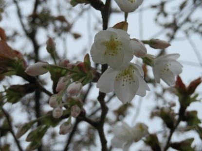 お散歩道の山桜 2020-2