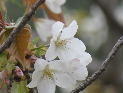 お散歩道の山桜 2020-4