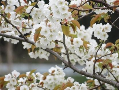 お散歩道の山桜 2020-5