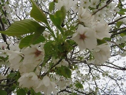お散歩道の山桜 2020-6