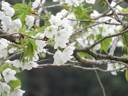 お散歩道の山桜 2020-7
