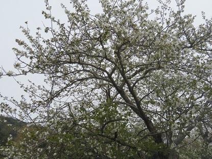 お散歩道の山桜 2020-8