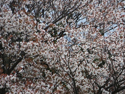 お散歩道の山桜 2020-9