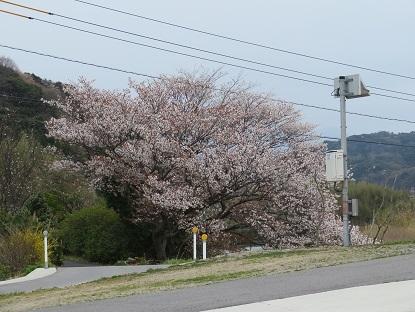 道路の向こうの桜さん2020・3・31