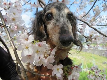 桜と実結 2020