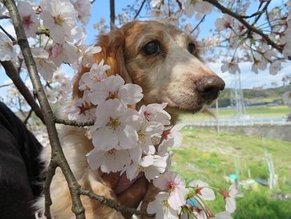桜と笑花 2020