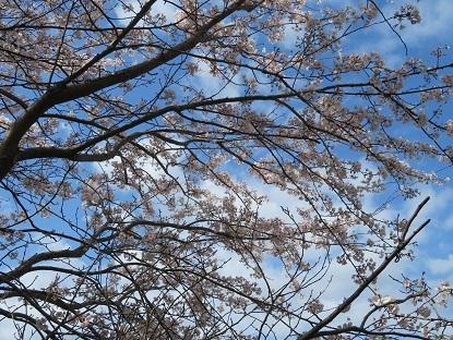 隣町の桜2