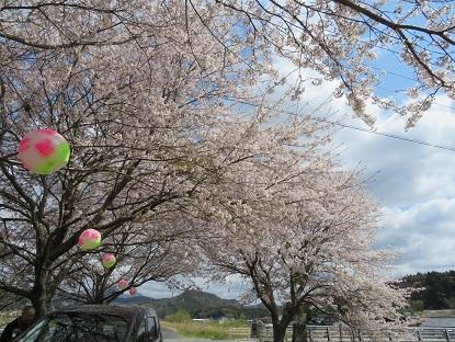 隣町の桜3