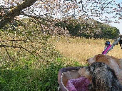 山桜とみゆえみ  2020・4・9