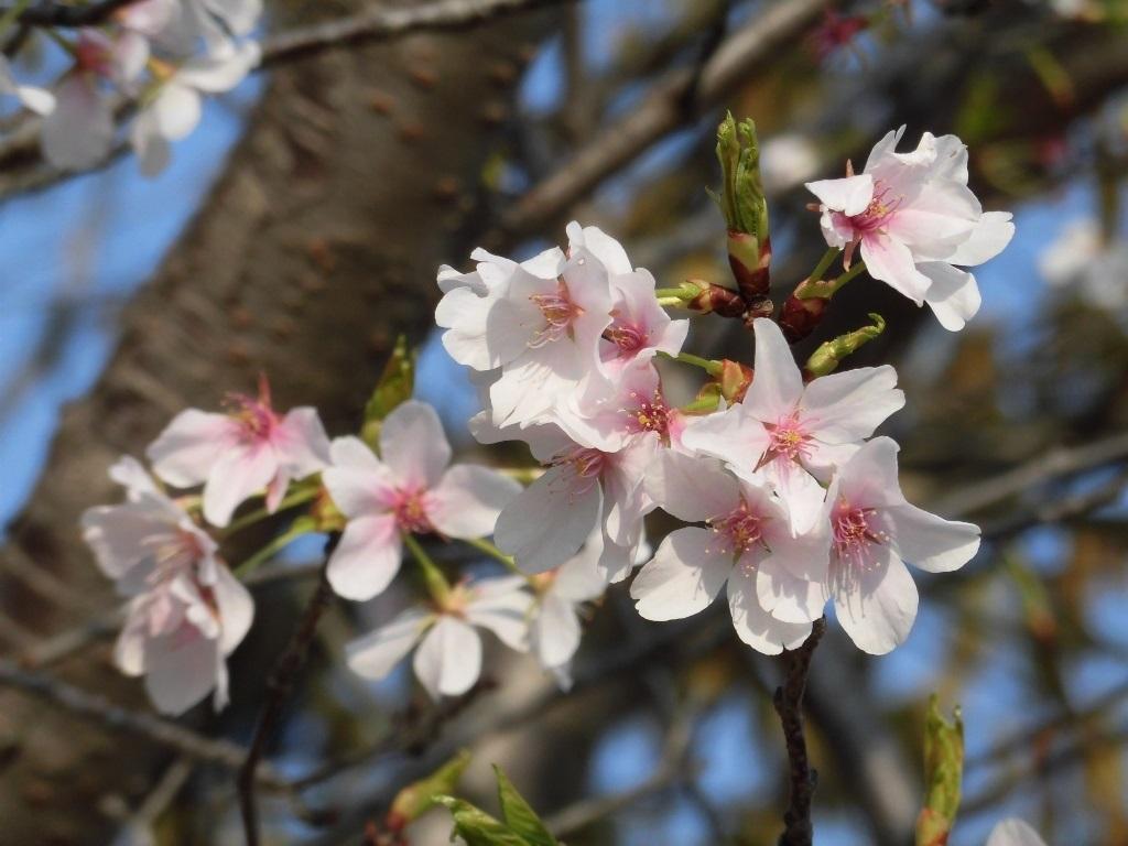オオシマザクラ (大阪市此花区)