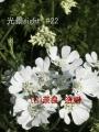 光景 オルレア ホワイトレース sight0835 花 FLOWERS Orlaya grandiflora