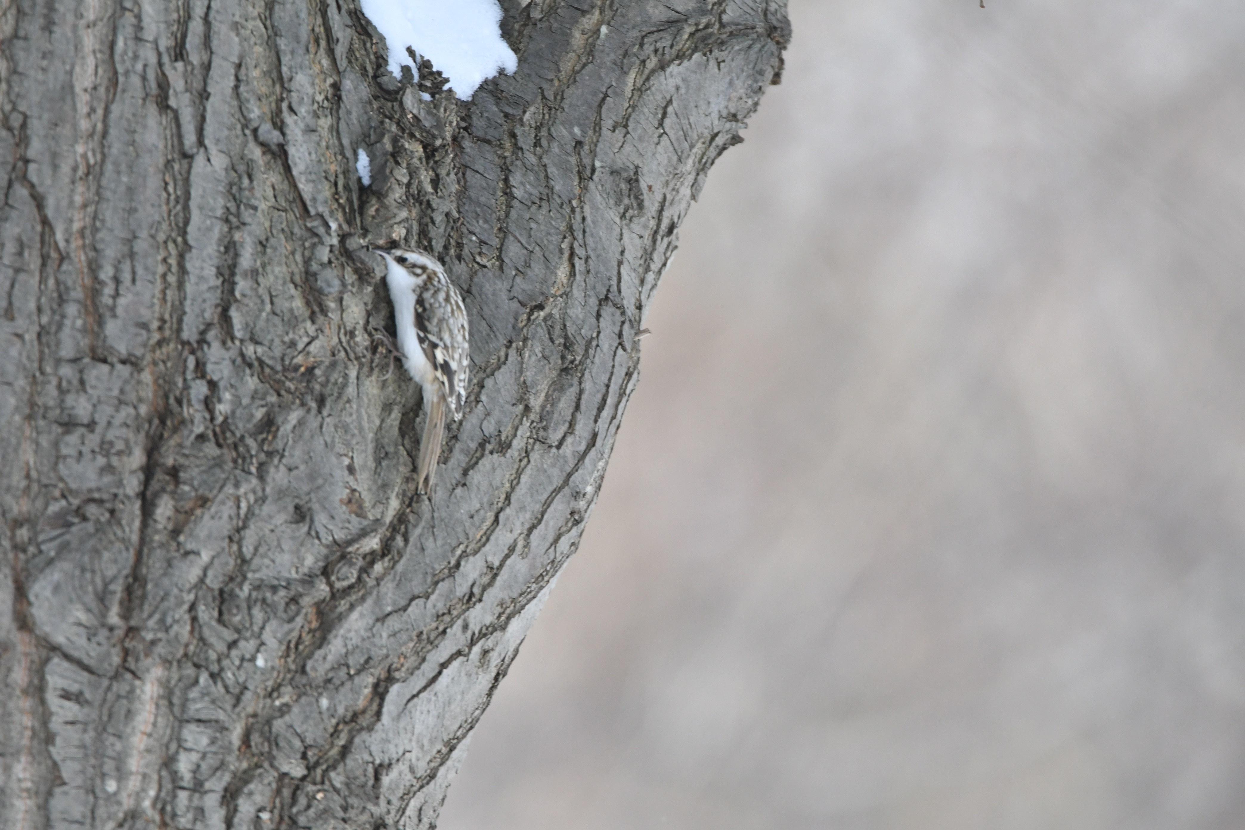冬のキバシリ