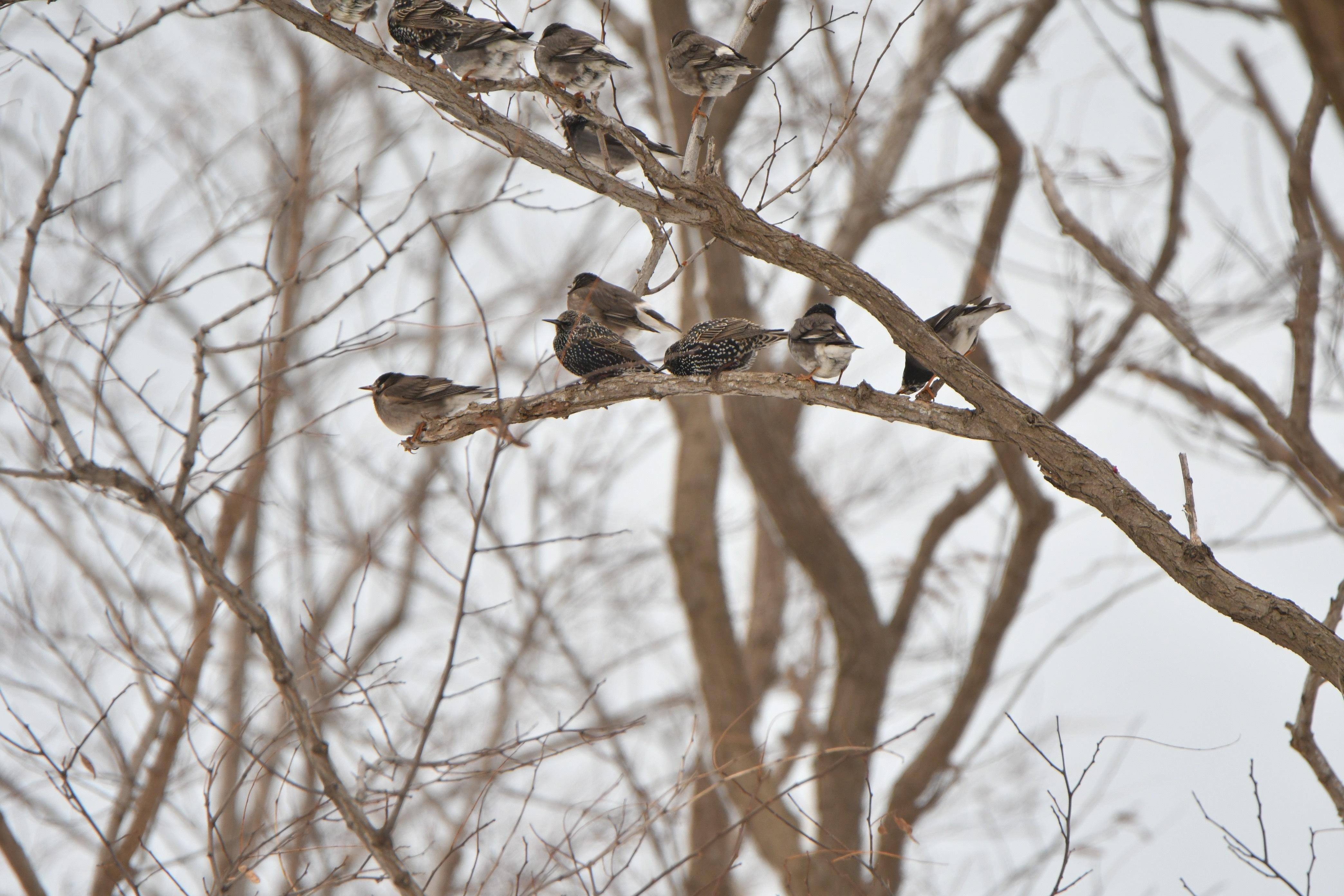 ホシムクドリ 3羽