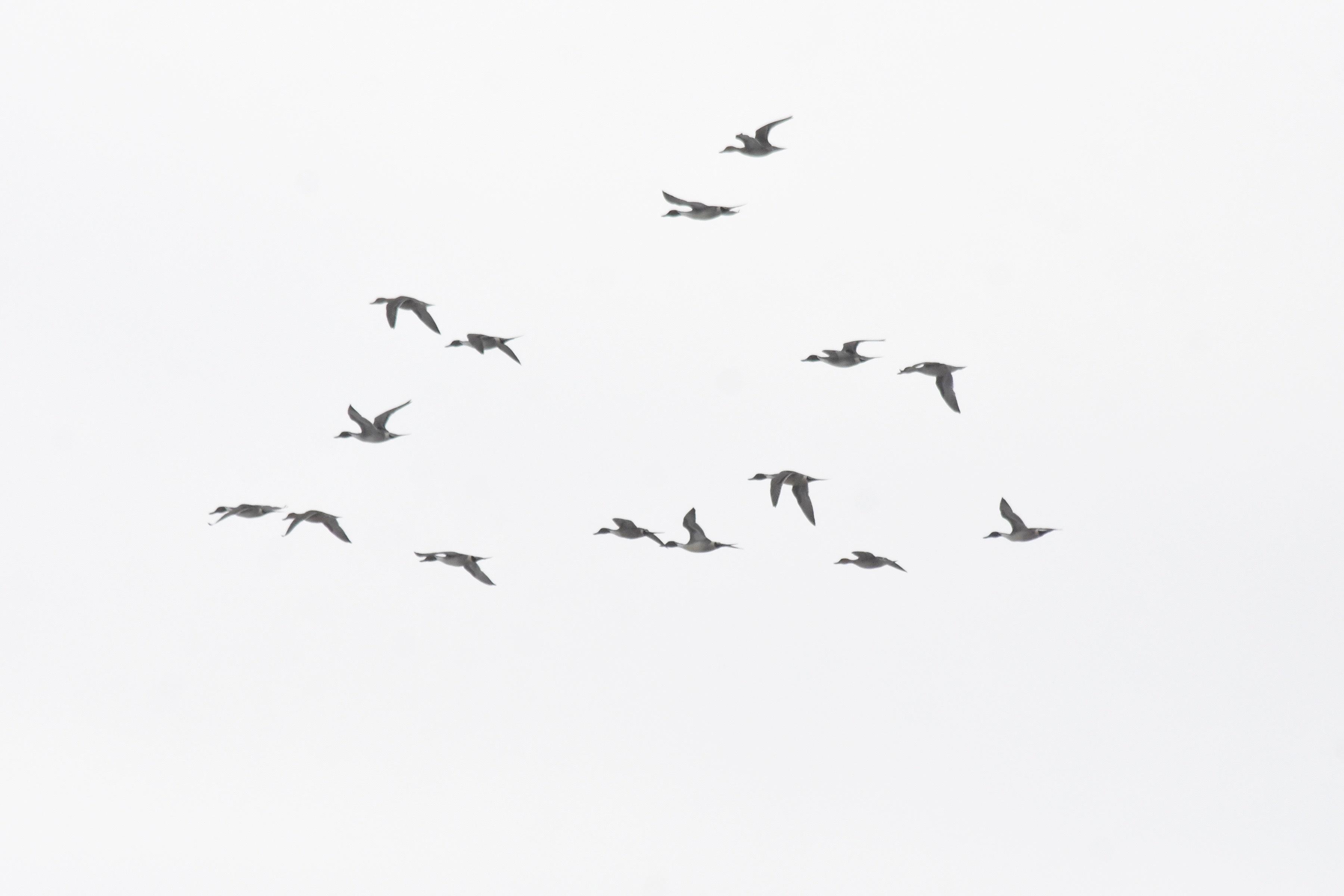 オナガガモ15羽