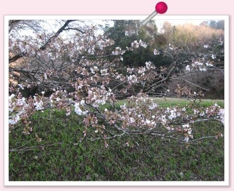画鋲(佐野市牧町の桜)