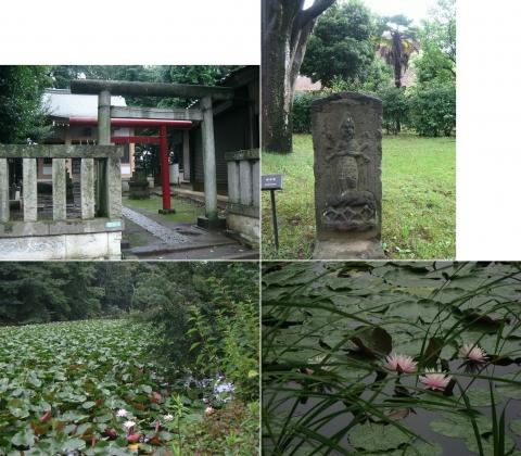 石神井公園の睡蓮(索引記事用)連結