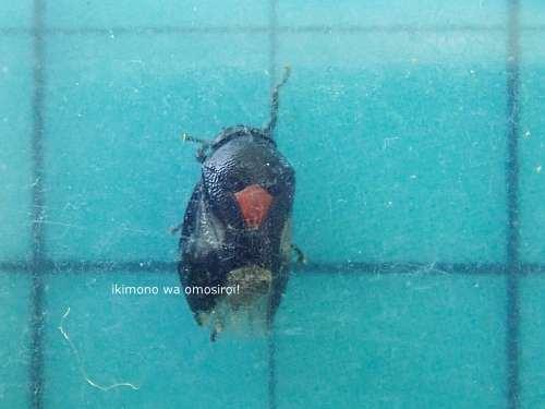 胸赤泡吹虫