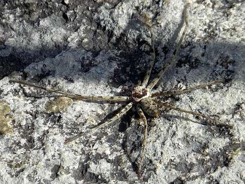 アシダカグモ