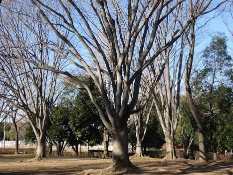きれぎれの風彩「伊奈公園の高木 0113」200126-06