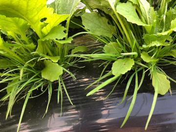 農園と間引き菜5