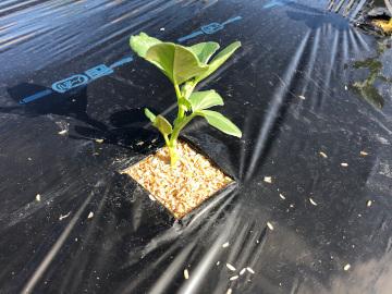 そら豆植え一畝5