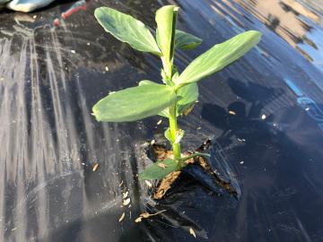 そら豆植え一畝4