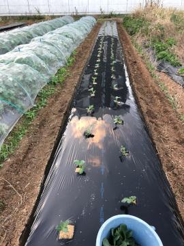 そら豆植え一畝7