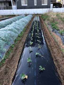 そら豆植え一畝6