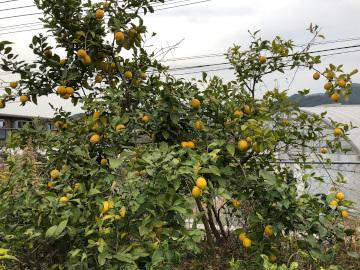 レモン、ジャバラの収穫5