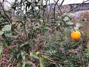 レモン、ジャバラの収穫6
