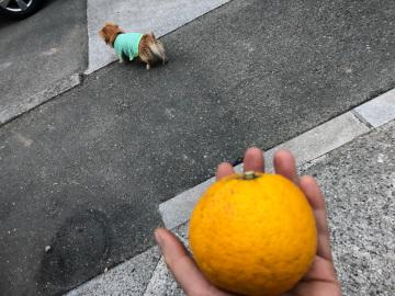 レモン、ジャバラの収穫8