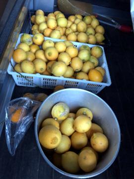 レモン、ジャバラの収穫7