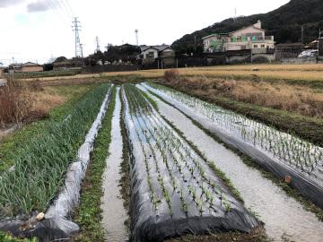 ニンニク玉ねぎ畝が水浸し3