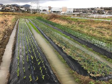 ニンニク玉ねぎ畝が水浸し2