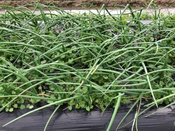 ニンニク玉ねぎ畝が水浸し4
