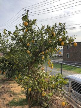 レモン収穫終了
