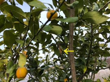 レモン収穫終了2