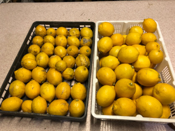 レモン収穫終了4