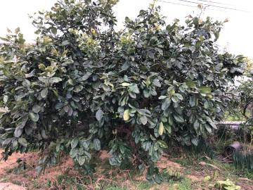 晩白柚収穫5
